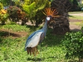 African Crane in Our Garden - Maui